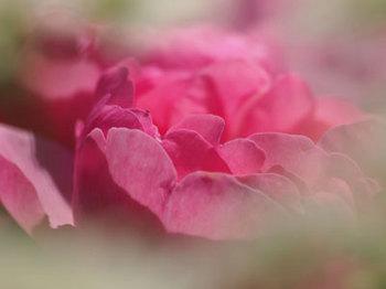 roseP5213003small.jpg