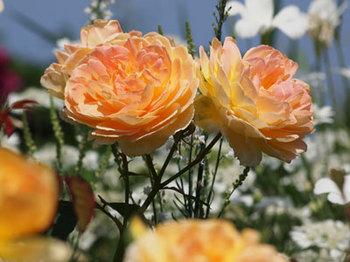 roseP5213044small.jpg