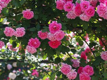 roseP5213090small.jpg