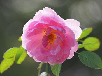 rosePA033504small.jpg