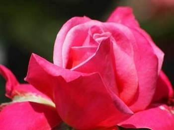 roseP5111640small.jpg